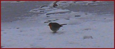le rouge-gorge sur la glace