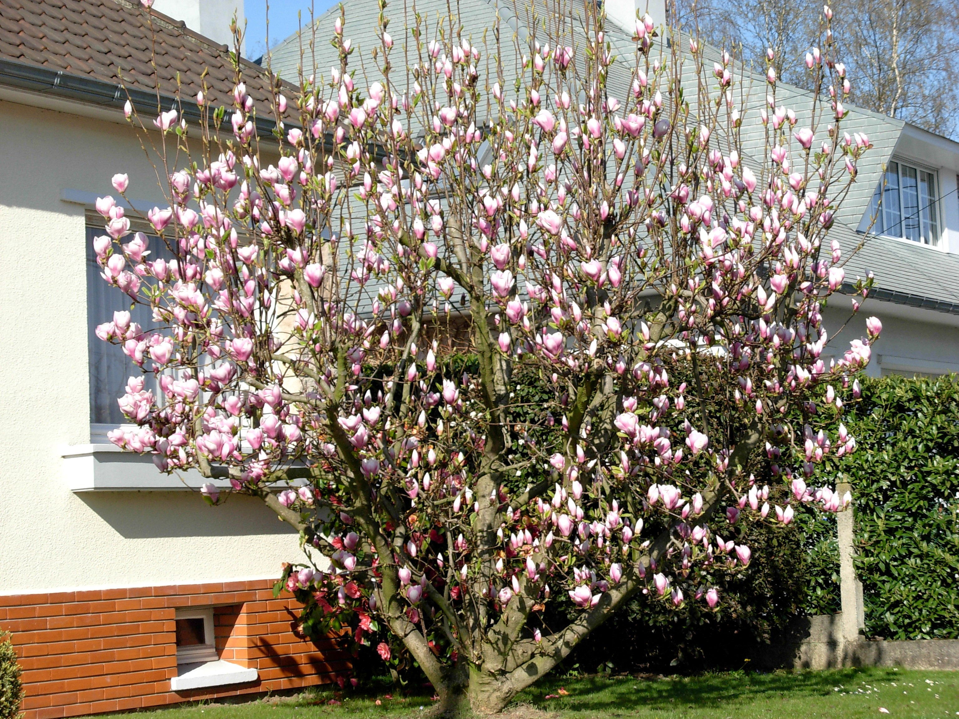 les magnolias de Villers-Campeau