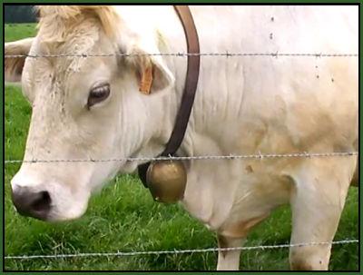 vache à clarine