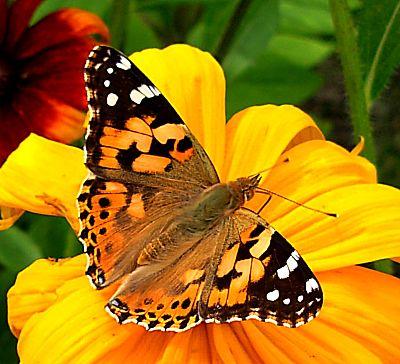 Somain photos du jour les papillons de juillet ma - Les animaux du jardin ...